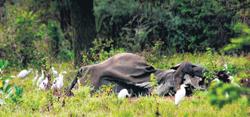Skin and bone, a dead elephant at the Lunugamvehera Park