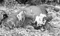 An elephant fallen prey to bullet wounds in Ampara