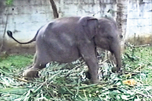 The baby elephant that was recently discovered in captivity