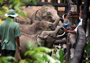 Baby elephants being fed at the Uda Walawe transit home