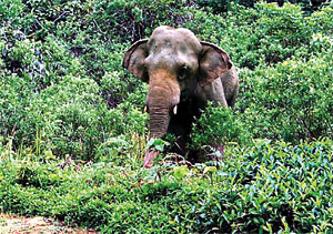 Sighting in 2008: Sinhabahu at Ensellwatte Estate . Pix by Project staff at the Estate