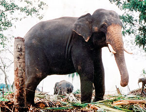 Pinnawala elephants. File photo