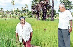 Two Sri Lankan rebels with a cause: Propagating indigenous rice as a counter to climate change