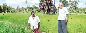 Alex Thanthriarachchi (left) and Charitha Wijeratne at their rice field.