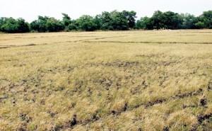 Dried up crops  in Polonnaruwa
