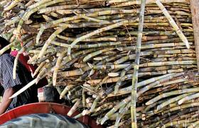 Sugar cane season