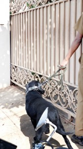 Policemen and police dogs at Dr. Ranasinghe's house following the grenade attack. Pic by Susantha Liyanawatte