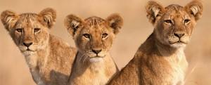 three_lion_cubs