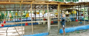 Ajith Marasinghe points to an empty chicken coop- Pix by Susantha Liayanawatte