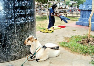 A sacrificial goat-in-waiting at the kovil