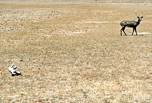 Wilpattu: A deer goes in search of water as another wild animal lies dead.  Pic by Kanchana Ariyadasa