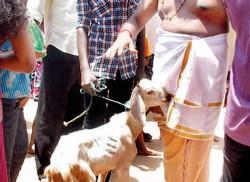 Poosari: Police prevent  transport of animals to Munneswaram Kovil