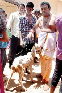 The controversy over the animal sacrifice at the Munneswaram Kovil is continuing despite the assurance to the President that they will not be held. A kovil poosari is seen taking into the kovil a goat brought by a devotee, though police prevented hundreds of other devotees from bringing  goats or fowl.  Pic by Hiran Priyankara Jayasinghe.