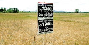 A different kind of scarecrow: A poster stands in the middle of a dried up paddyfield in Polonnaruwa, demanding compensation. Pic by K. G. Karunaratne