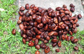 Substitute for cocoa butter which could be grown in Sri Lanka