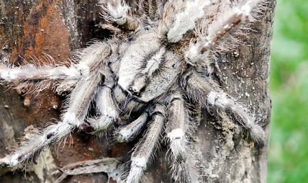 Return of the tarantula