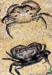 Ceylonthelphusa Kandambyi: The freshwater crab discovered by Mohammed Bahir, named after his mentor
