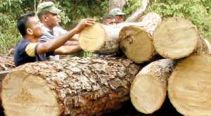 A section of massive trees felled in the Madhu reservation