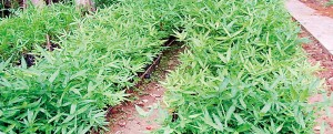 Young bamboo  plants