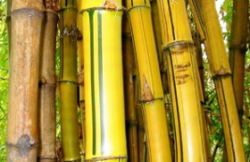 Bamboozled by Bamboo