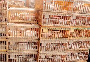 Ruffling a few feathers: Wholesale poultry