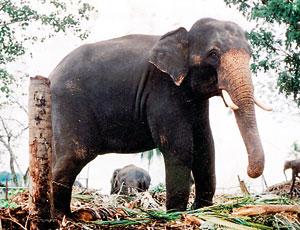 New measures to protect Pinnawala elephants