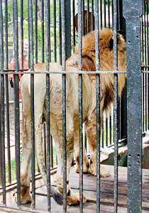 This once proud king of the jungle appears to be reduced to penury
