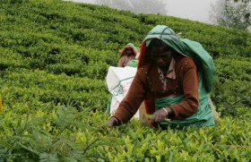 Lessons that can be learned from the debacle of the South African tea industry