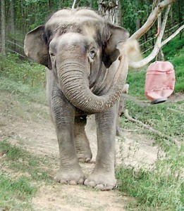 Tina at the Elephant Sanctuary in 2003: A happy end to a life of confinement