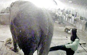 Sick:Secret footage filmed by Animal Defenders International showed Anne being violently beaten