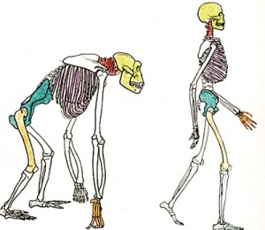 Comparison of changes in the skeleton in a gorilla and human