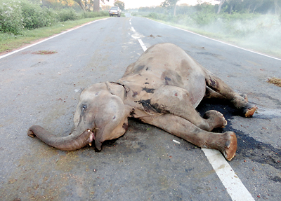 Big or small, no animal is spared  on Yala 'killer-road'