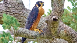 Shaheen' the local resident race of the Peregrine Falcon in Sri Lanka.  Pic by LF