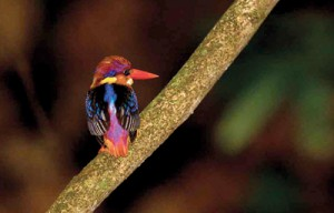 Oriental Dwarf Kingfisher also known as the Black-backed Kingfisher or Three-toed Kingfisher, the smallest in Sri Lanka.  Pic by HdeS
