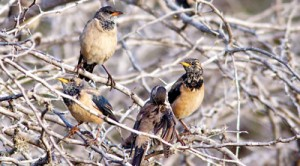 Rosy Starlings: A strong migrant that winters in India and tropical Asia. Pic by HdeS