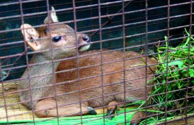 Island sanctuary for critically endangered Hog Deer