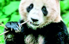 Giant pandas could be the latest weapon against superbugs