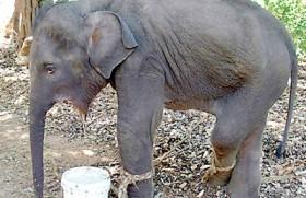 Hakka pataas set to become Elephant Killer No. 1