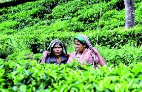 Recent Govt. decisions lead to 'progressive decimation of the tea industry' : CTTA