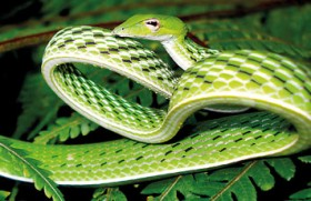 Sri Lanka, home to new snake species