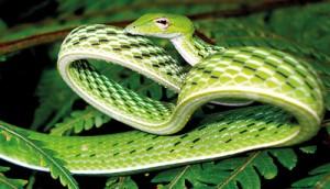 Ahaetulla nasuta - Green vine snake (Ahatulla). Pic by Dushantha Kandambi