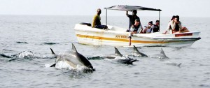 Numbers of friendly Dolphins frolic around a boat carrying tourists