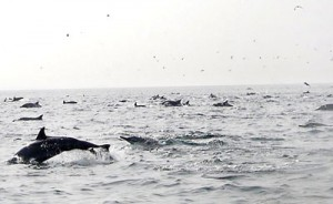A pod of dolphins racing behind a boat Roy Priyantha: Roy Priyantha said area residents were totally against the slaughter of these delightful and friendly mammals