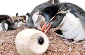 A penguin nursery, secretly filmed  with  cameras inside fake birds