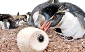 A chick's-eye view: The team released camera 'eggs' into the penguin colony