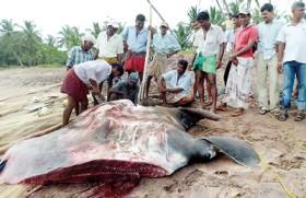 Manta ray struggles for survival