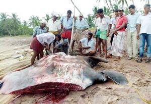 """Maduwa"", or manta ray, that was netted last week by fishermen in Welipatanwila, Ambalanthota, on the South coast"