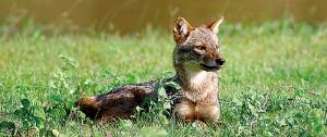 Basking in the sun: Grey tailed fox at Yala