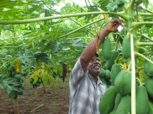 Papaya grower  in Vavuniya North cleaning the trees
