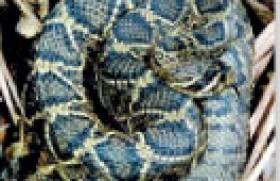 Eastern Diamond Back Rattlesnake